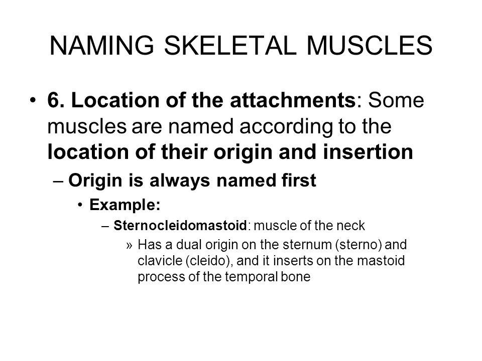 NAMING SKELETAL MUSCLES 7.
