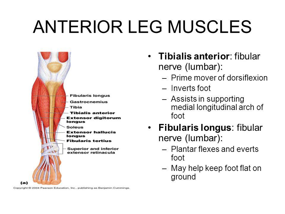 ANTERIOR LEG MUSCLES Tibialis anterior: fibular nerve (lumbar): –Prime mover of dorsiflexion –Inverts foot –Assists in supporting medial longitudinal