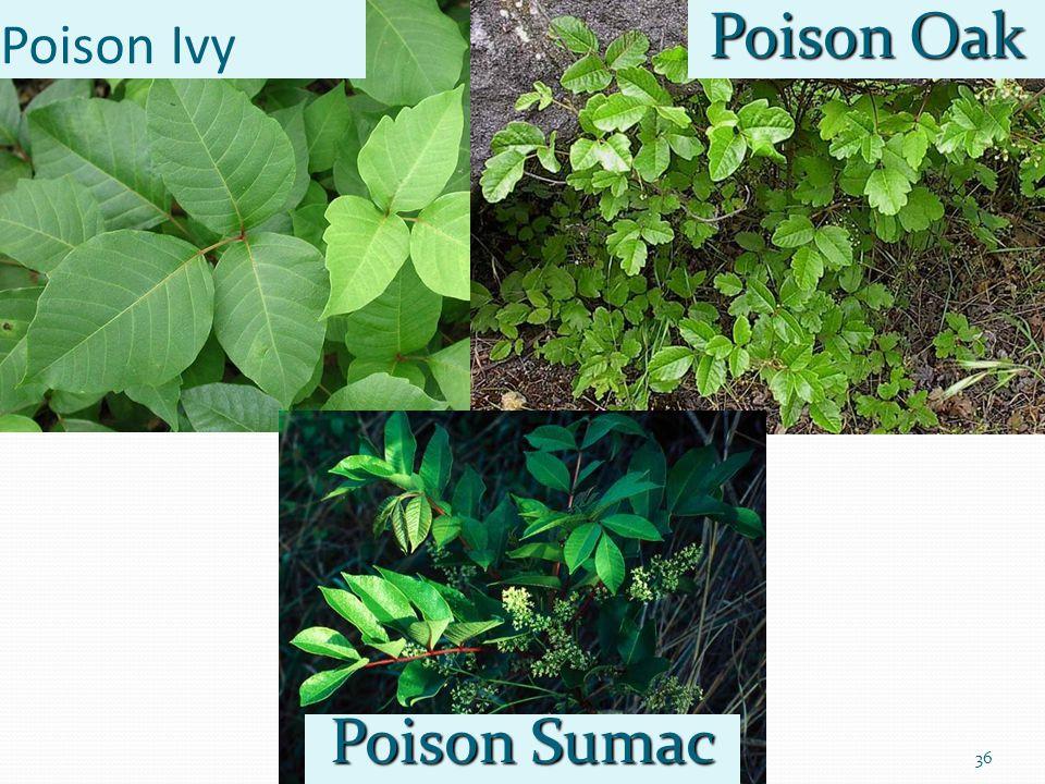 36 Poison Ivy Poison Oak Poison Sumac