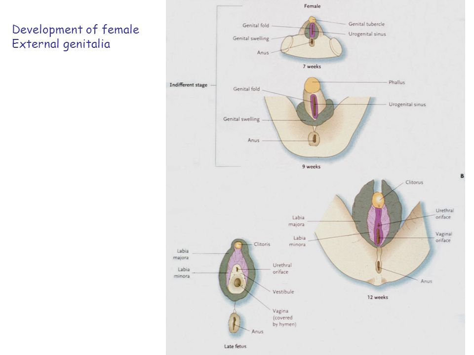 Development of male External genitalia