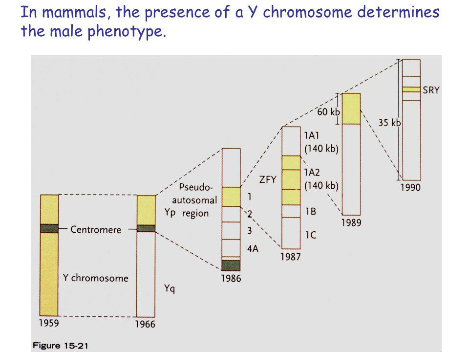 In mammals, the presence of a Y chromosome determines the male phenotype.