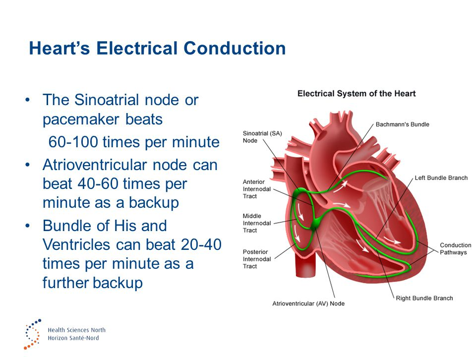 Heart's Electrical Conduction The Sinoatrial node or pacemaker beats 60-100 times per minute Atrioventricular node can beat 40-60 times per minute as