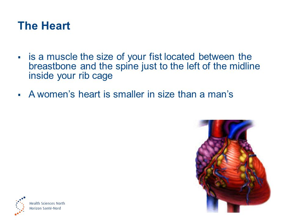 The Heart  is a muscle the size of your fist located between the breastbone and the spine just to the left of the midline inside your rib cage  A wo