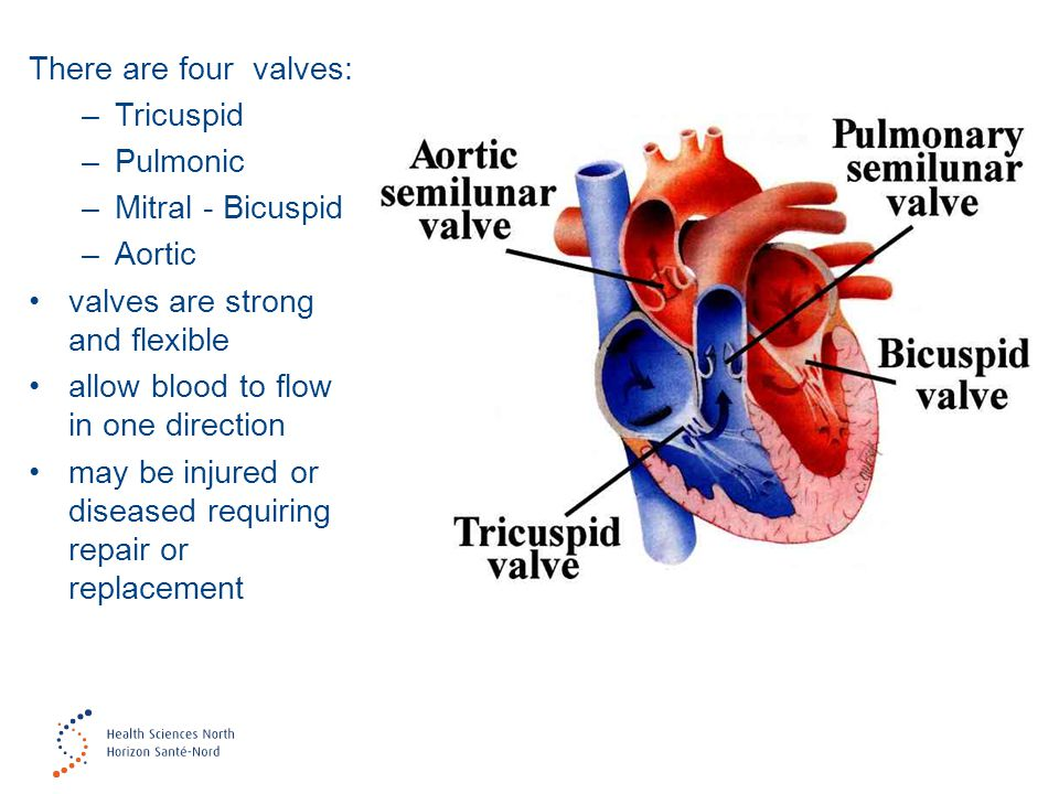 There are four valves: –Tricuspid –Pulmonic –Mitral - Bicuspid –Aortic valves are strong and flexible allow blood to flow in one direction may be inju