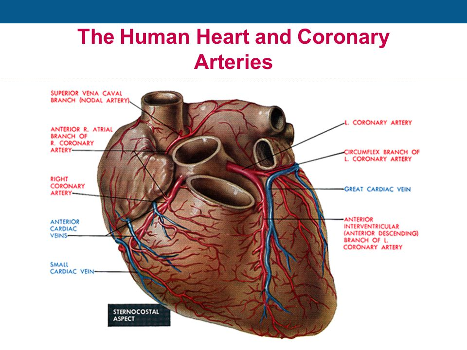 The Human Heart Location: Middle of the chest Size:That of a fist Purpose:Pumps blood throughout the body Weight:7 – 12 ounces Capacity:Pumps 1,800 gallons of blood & beats over 100,000 times daily