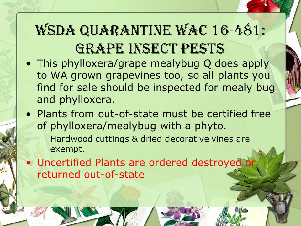 WSDA Quarantine WAC 16-481: Grape Insect pests This phylloxera/grape mealybug Q does apply to WA grown grapevines too, so all plants you find for sale should be inspected for mealy bug and phylloxera.