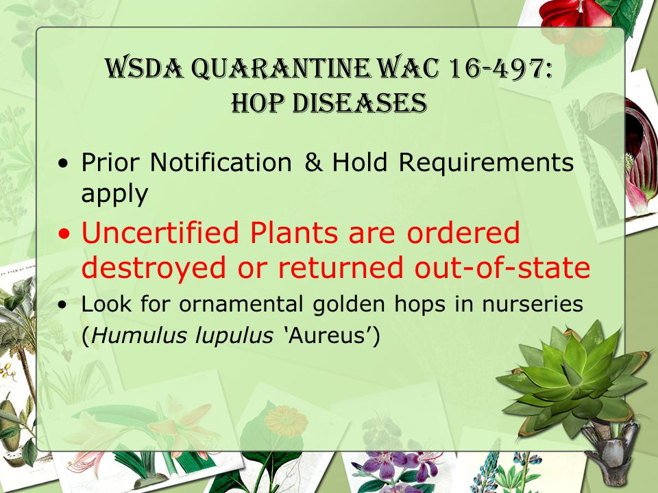 WSDA Quarantine WAC 16-497: Hop Diseases Prior Notification & Hold Requirements apply Uncertified Plants are ordered destroyed or returned out-of-state Look for ornamental golden hops in nurseries (Humulus lupulus 'Aureus')