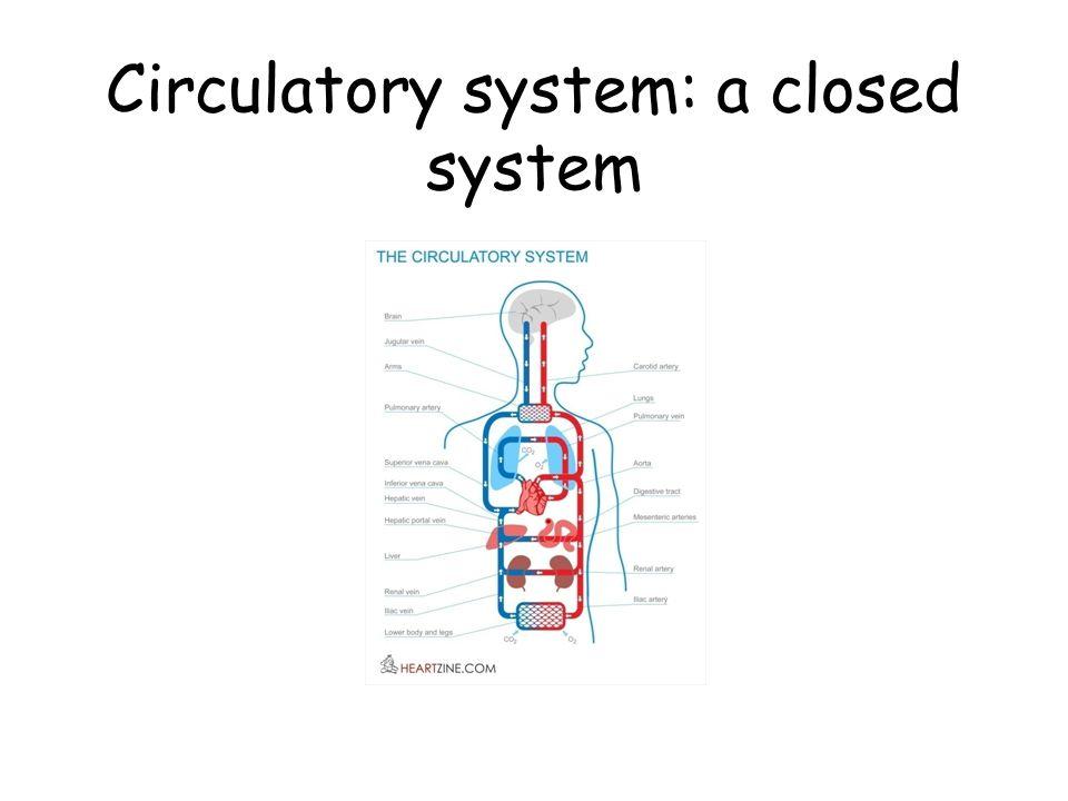 Blood circulation through the heart
