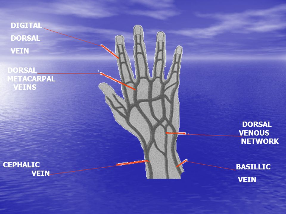 BASILLIC VEIN DORSAL VENOUS NETWORK CEPHALIC VEIN DORSAL METACARPAL VEINS DIGITAL DORSAL VEIN