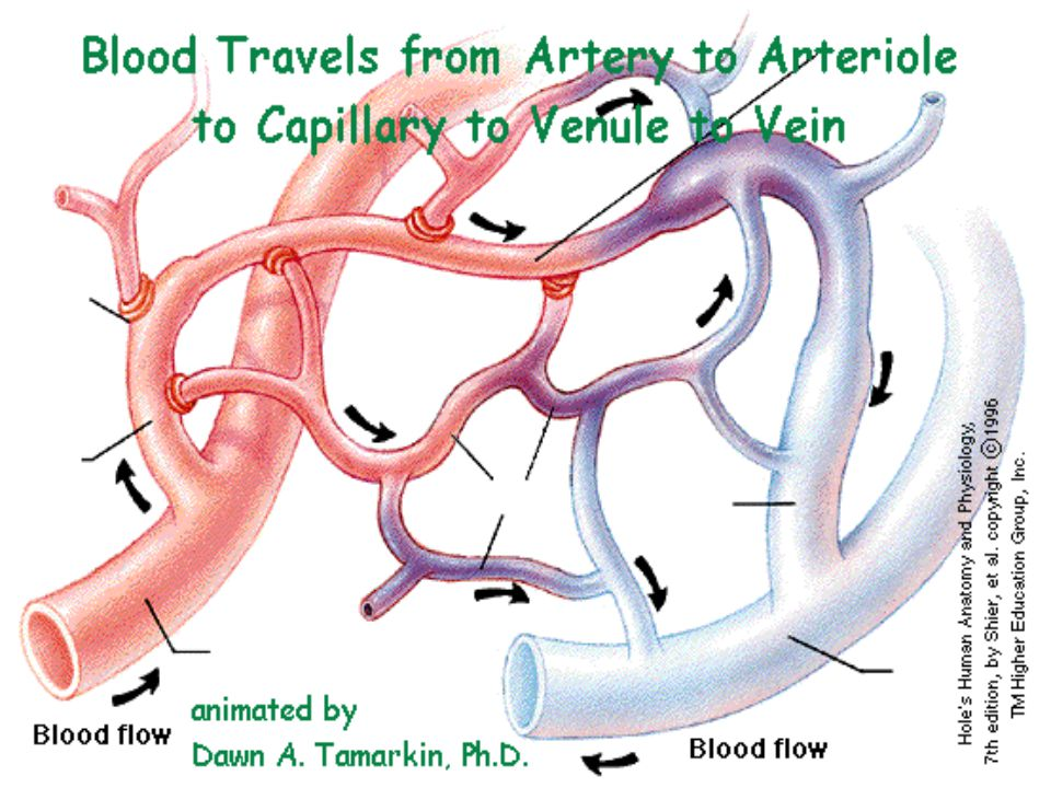  Capillaries small thin walled blood vessels allow materials to diffuse between blood and tissues.