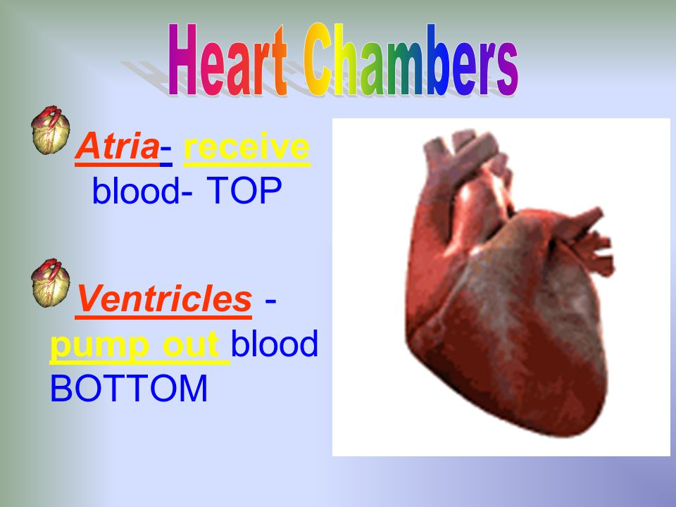 The Heart Enclosed in protective sac-pericardium Thought as two pumps side by side Size of fist- grows as fist grows.