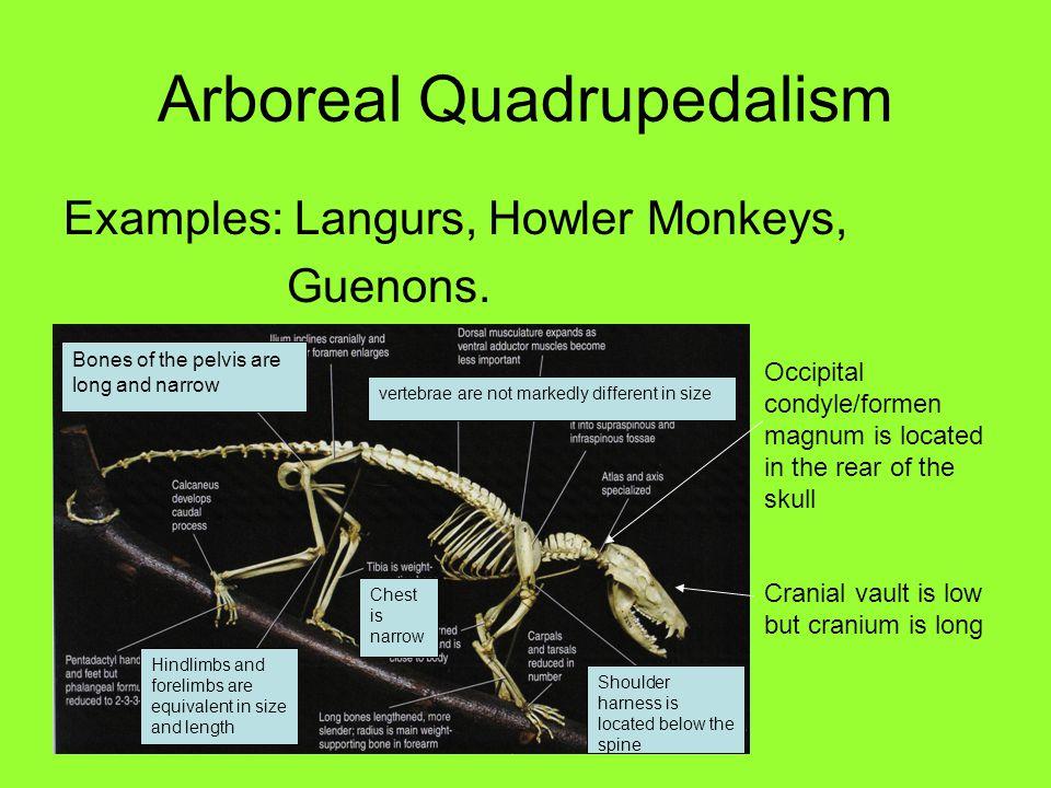 Arboreal Quadrupedalism Examples: Langurs, Howler Monkeys, Guenons.