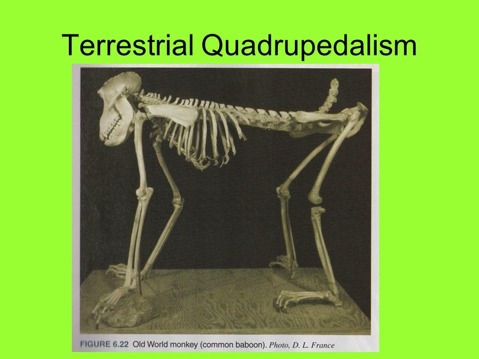 Terrestrial Quadrupedalism