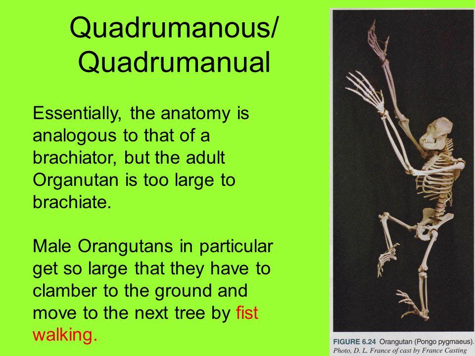 Quadrumanous/ Quadrumanual Essentially, the anatomy is analogous to that of a brachiator, but the adult Organutan is too large to brachiate.
