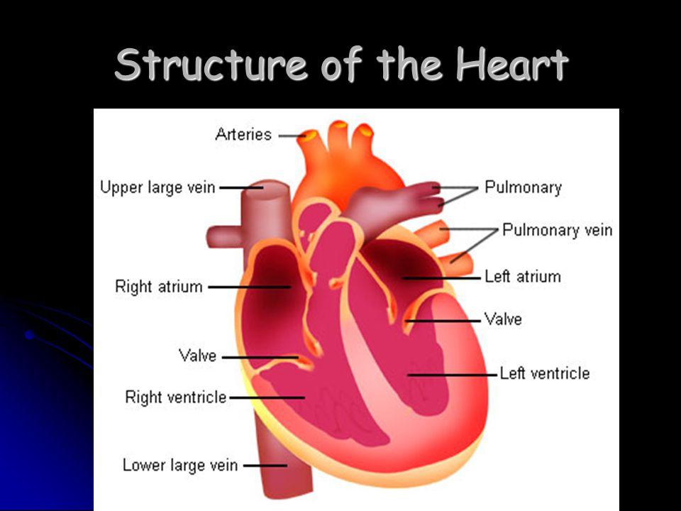 Blood Flow through Heart Deoxygenated blood gathered from all around the body flows into the R atrium in veins called the vena cava.
