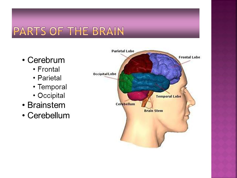 Cerebrum Frontal Parietal Temporal Occipital Brainstem Cerebellum