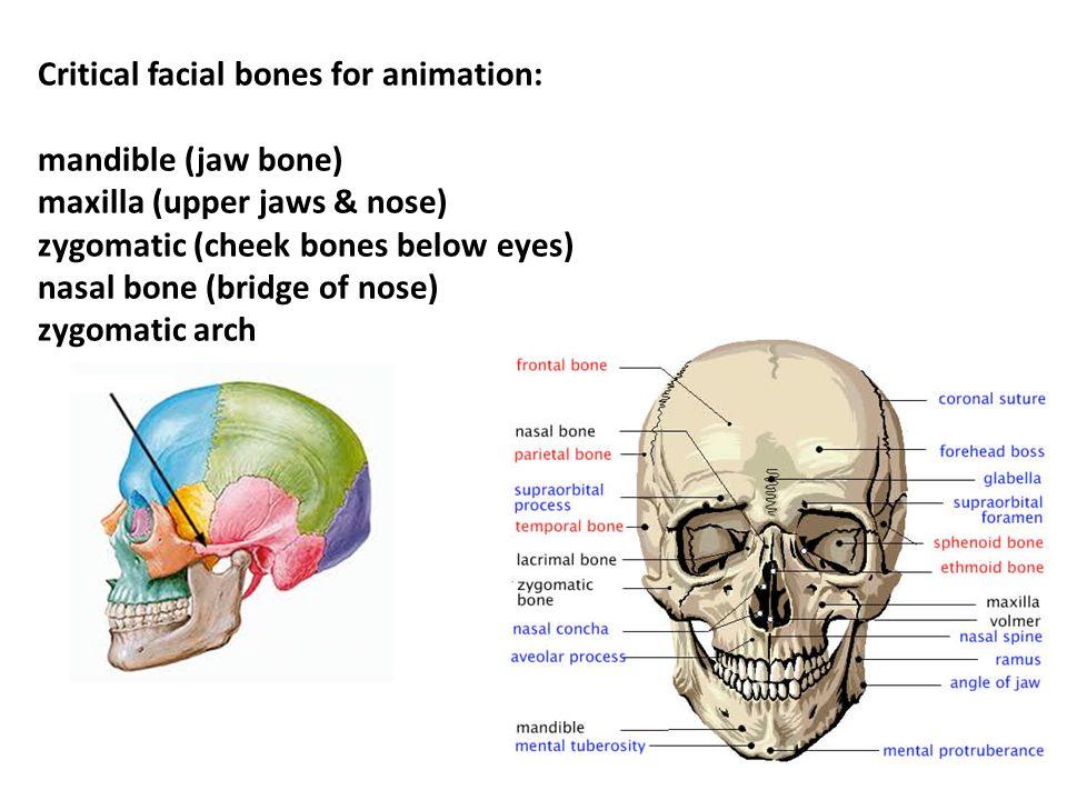 Critical facial bones for animation: mandible (jaw bone) maxilla (upper jaws & nose) zygomatic (cheek bones below eyes) nasal bone (bridge of nose) zygomatic arch