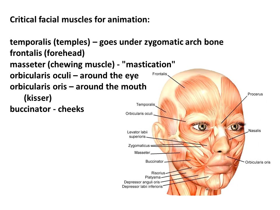 Critical facial muscles for animation: temporalis (temples) – goes under zygomatic arch bone frontalis (forehead) masseter (chewing muscle) - mastication orbicularis oculi – around the eye orbicularis oris – around the mouth (kisser) buccinator - cheeks