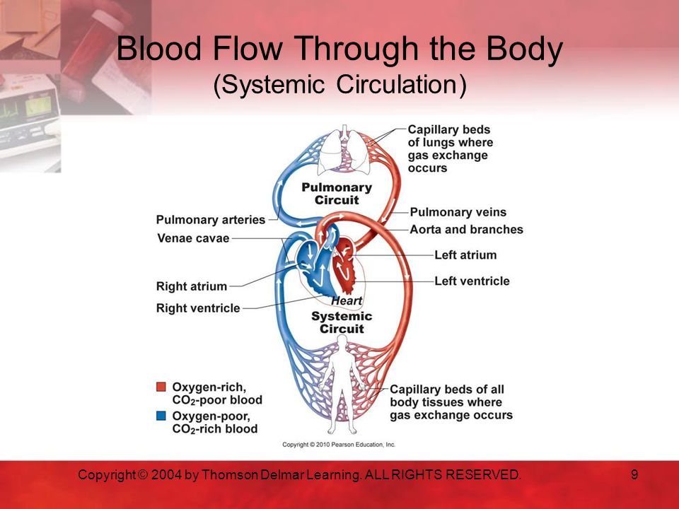 Blood Flow Through the Body (Systemic Circulation) Copyright © 2004 by Thomson Delmar Learning.