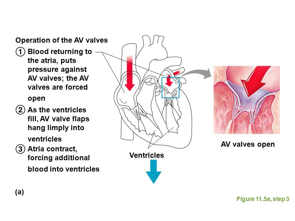 Figure 11.5a, step 3 Blood returning to the atria, puts pressure against AV valves; the AV valves are forced open As the ventricles fill, AV valve fla