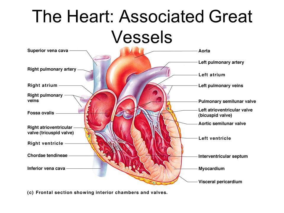 The Heart: Associated Great Vessels