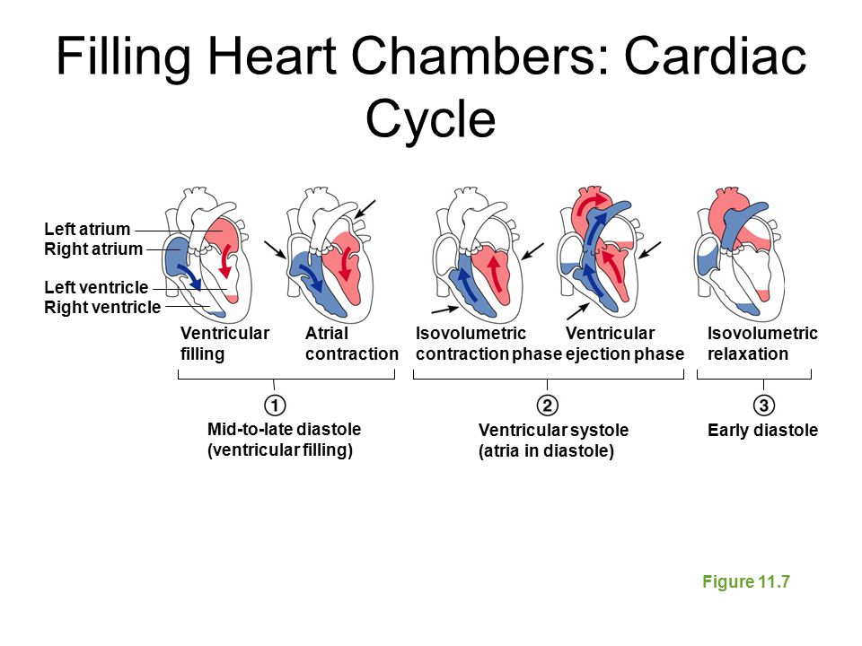 Filling Heart Chambers: Cardiac Cycle Figure 11.7 Atrial contraction Mid-to-late diastole (ventricular filling) Ventricular systole (atria in diastole