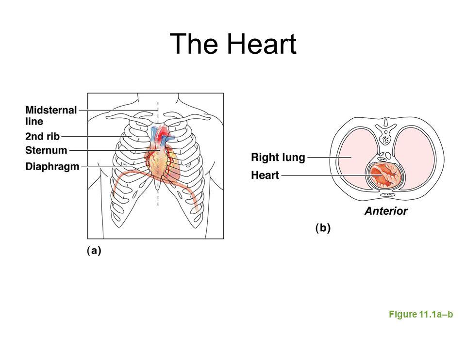 The Heart Figure 11.1a–b