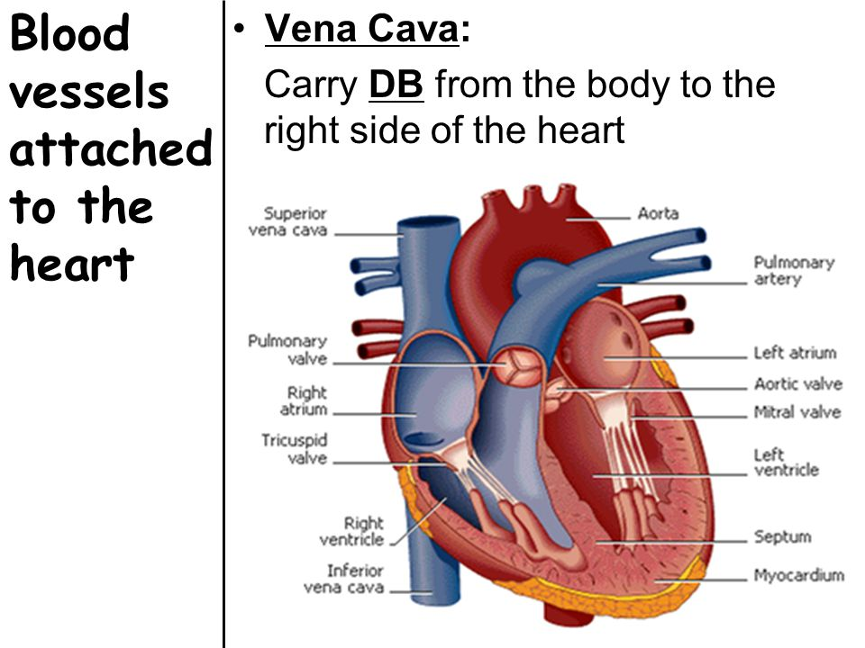 Blood vessels attached to the heart Vena Cava: Carry DB from the body to the right side of the heart