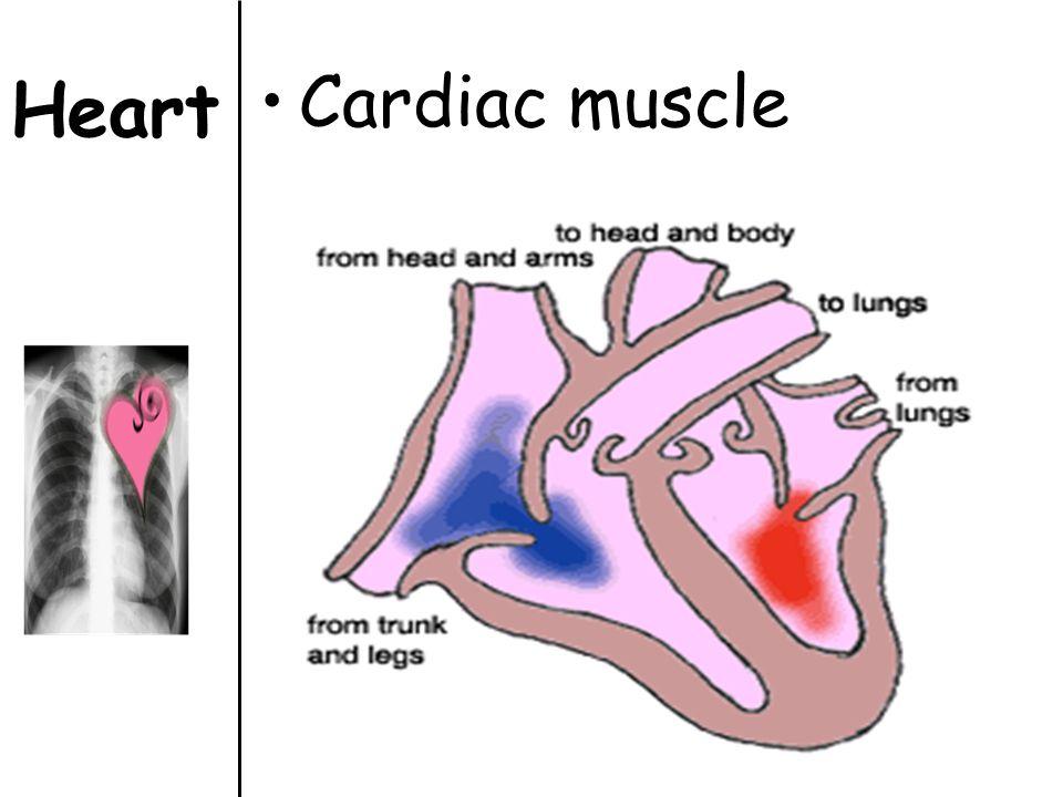 Heart Cardiac muscle