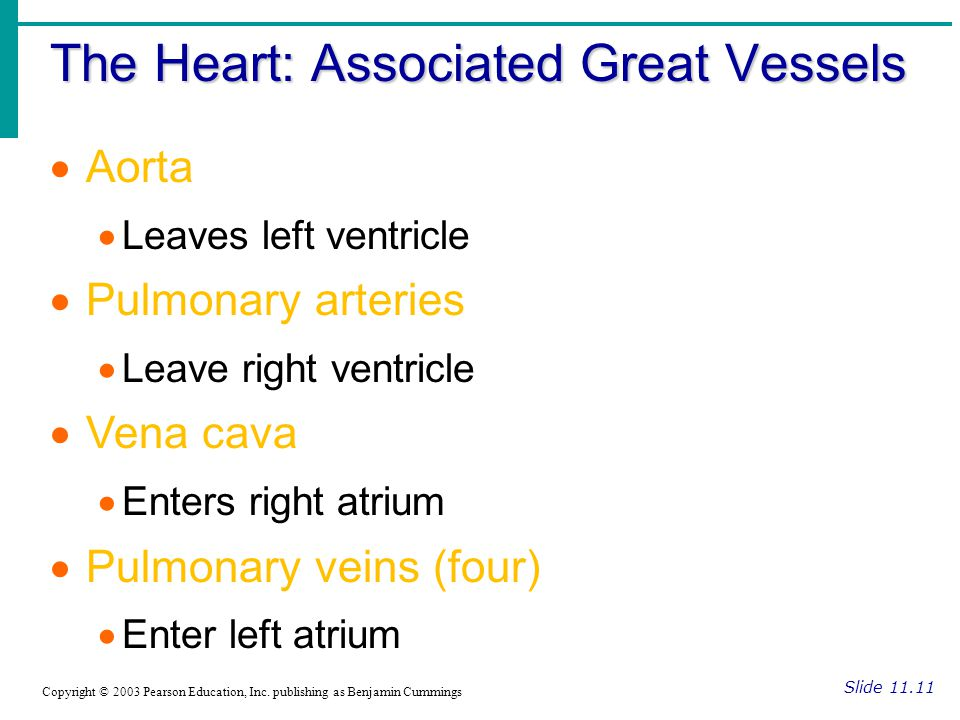 The Heart: Associated Great Vessels Slide 11.11 Copyright © 2003 Pearson Education, Inc.