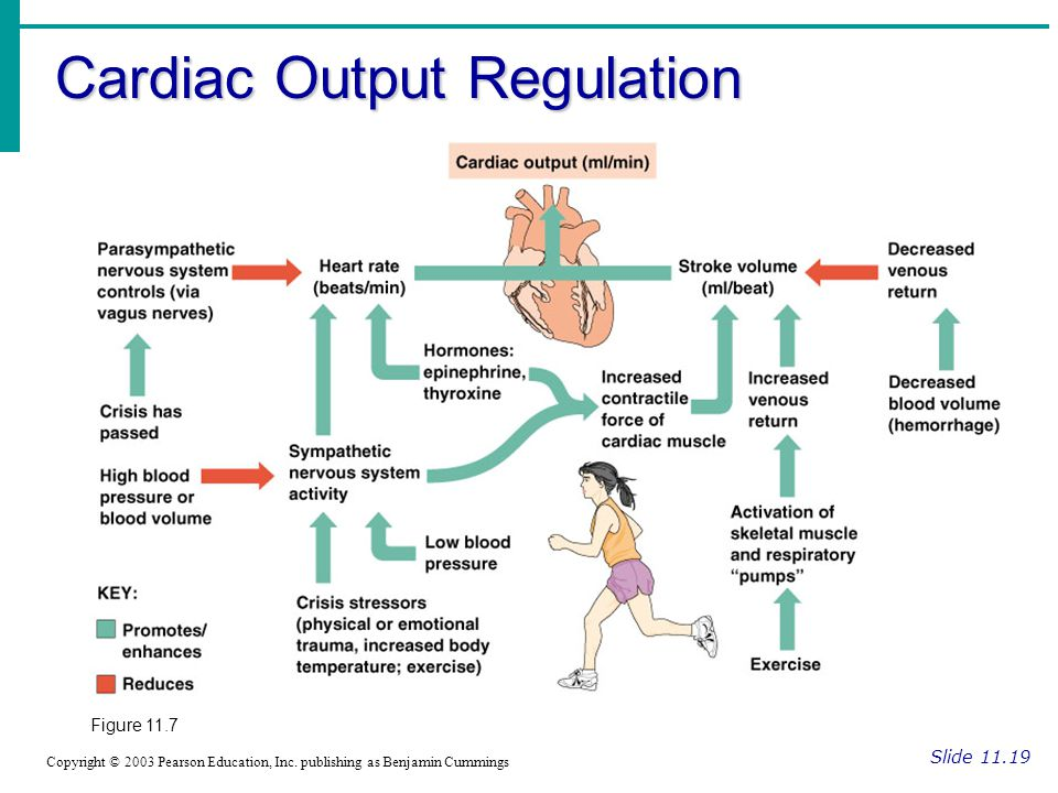 Cardiac Output Regulation Slide 11.19 Copyright © 2003 Pearson Education, Inc.