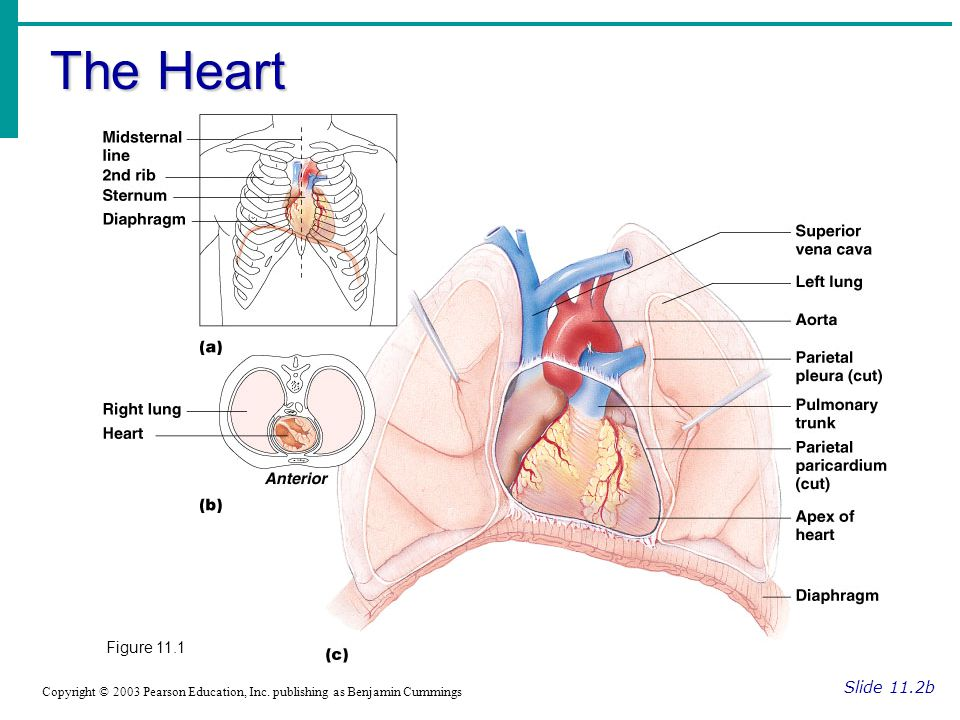 The Heart Slide 11.2b Copyright © 2003 Pearson Education, Inc.