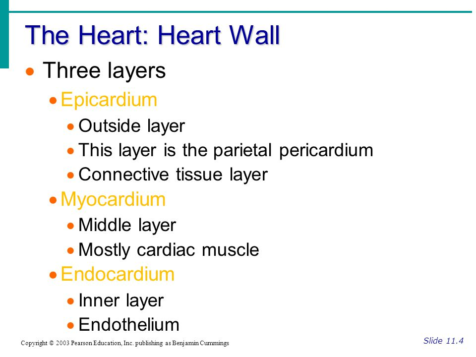 The Heart: Heart Wall Slide 11.4 Copyright © 2003 Pearson Education, Inc.