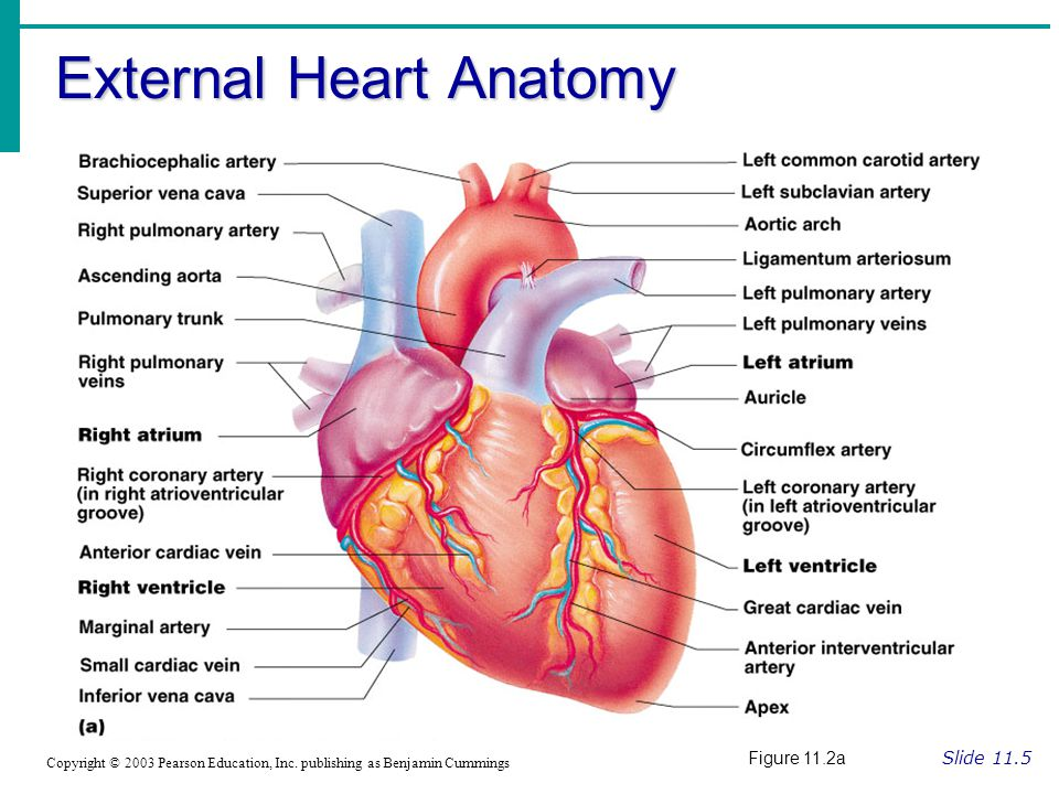 External Heart Anatomy Slide 11.5 Copyright © 2003 Pearson Education, Inc.