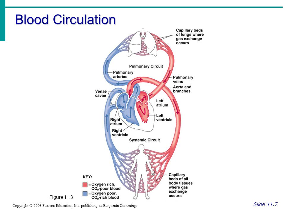 Blood Circulation Slide 11.7 Copyright © 2003 Pearson Education, Inc.