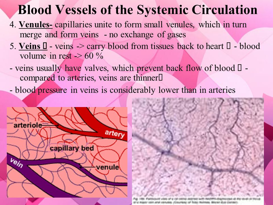 Blood Vessels of the Systemic Circulation 3. Capillaries- microscopic in size; connect arterioles and venules - site of exchange of gases, nutrients a