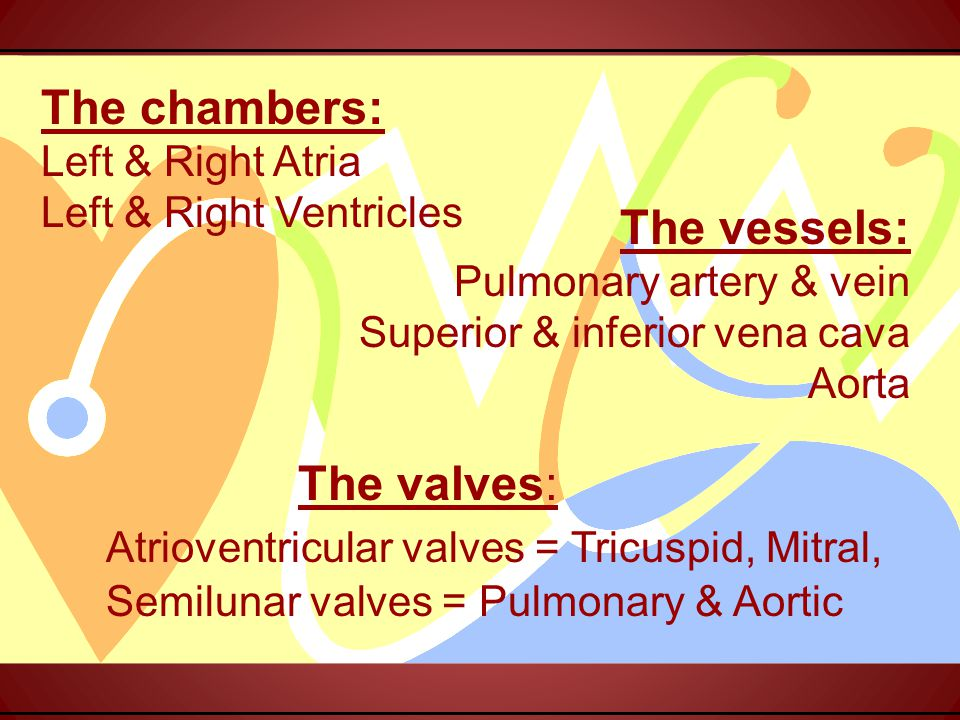 The chambers: Left & Right Atria Left & Right Ventricles The valves: Atrioventricular valves = Tricuspid, Mitral, Semilunar valves = Pulmonary & Aortic The vessels: Pulmonary artery & vein Superior & inferior vena cava Aorta