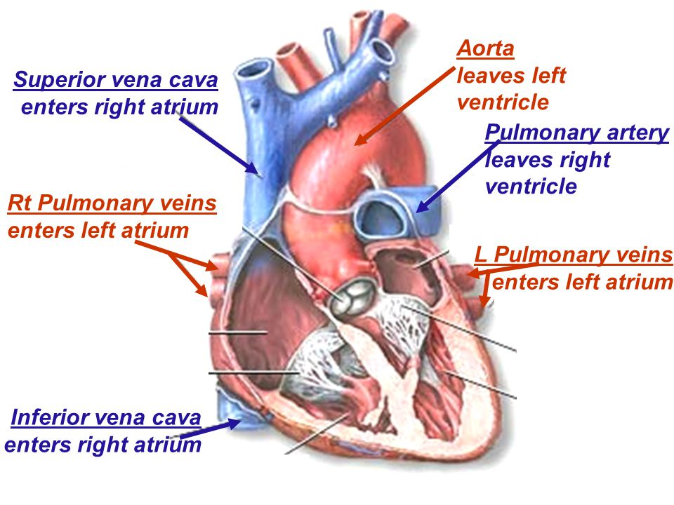 Aorta leaves left ventricle Pulmonary artery leaves right ventricle Superior vena cava enters right atrium Inferior vena cava enters right atrium L Pulmonary veins enters left atrium Rt Pulmonary veins enters left atrium