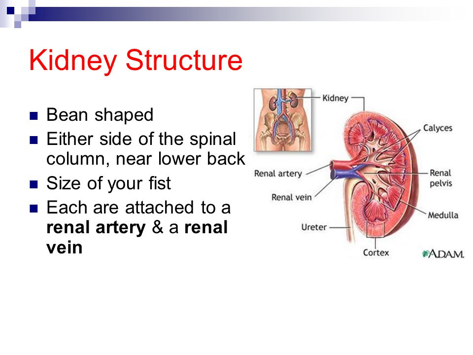 Kidney Structure Bean shaped Either side of the spinal column, near lower back Size of your fist Each are attached to a renal artery & a renal vein