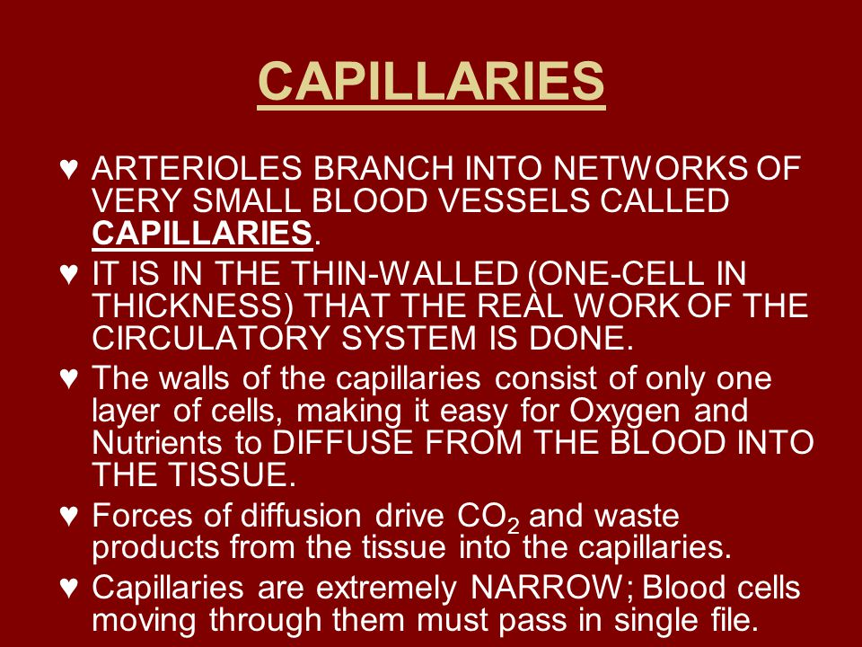 CAPILLARIES ♥ARTERIOLES BRANCH INTO NETWORKS OF VERY SMALL BLOOD VESSELS CALLED CAPILLARIES. ♥IT IS IN THE THIN-WALLED (ONE-CELL IN THICKNESS) THAT TH