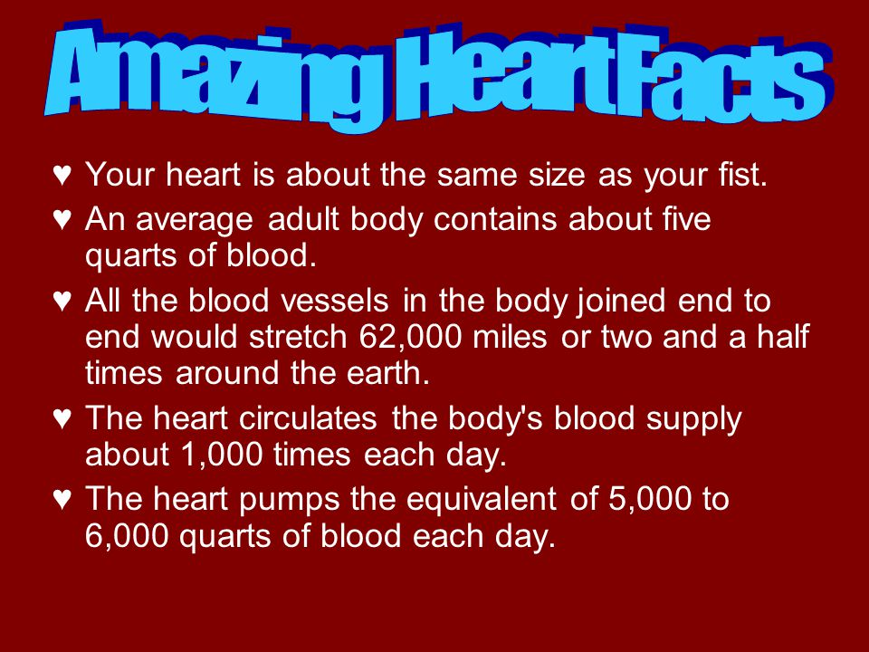 ♥Your heart is about the same size as your fist. ♥An average adult body contains about five quarts of blood. ♥All the blood vessels in the body joined