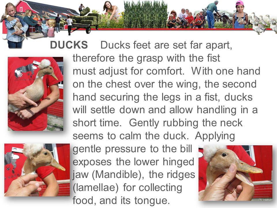 DUCKSDucks feet are set far apart, therefore the grasp with the fist must adjust for comfort.