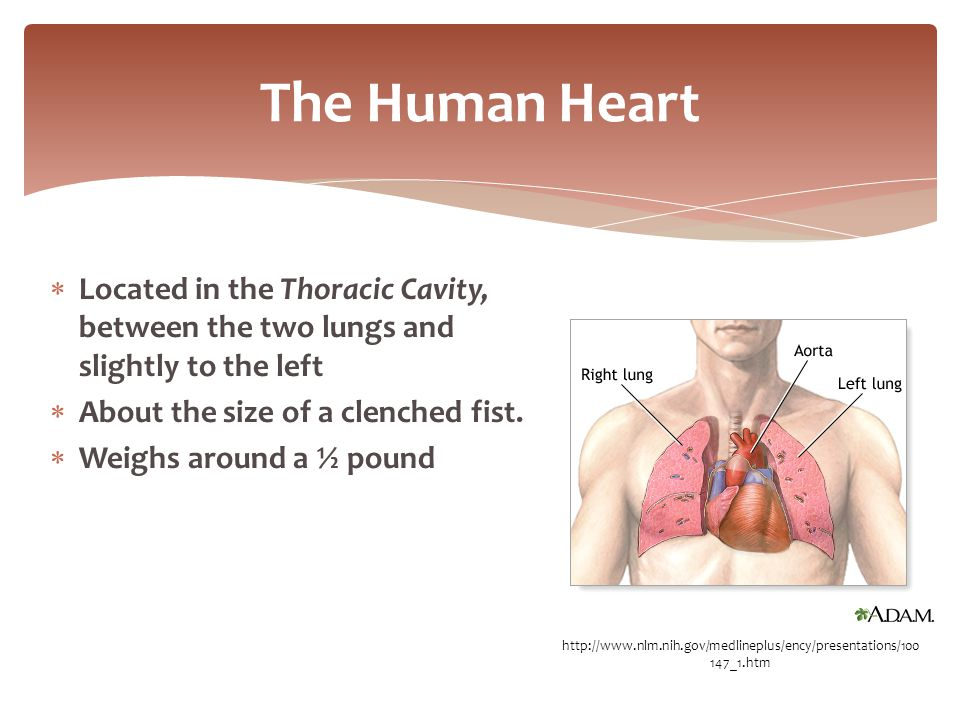  Located in the Thoracic Cavity, between the two lungs and slightly to the left  About the size of a clenched fist.