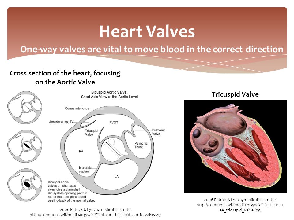 One-way valves are vital to move blood in the correct direction Heart Valves 2006 Patrick J. Lynch, medical illustrator http://commons.wikimedia.org/w