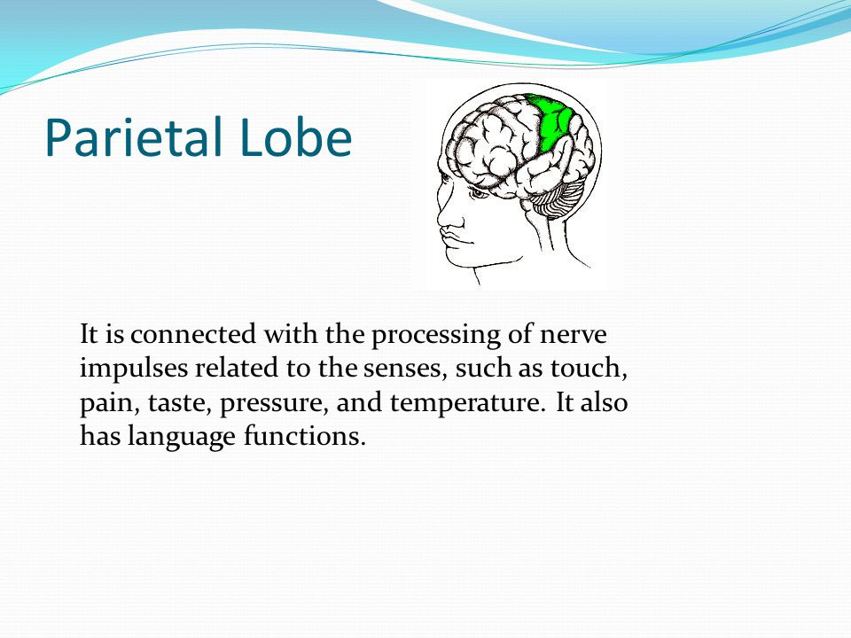 Parietal Lobe It is connected with the processing of nerve impulses related to the senses, such as touch, pain, taste, pressure, and temperature. It a