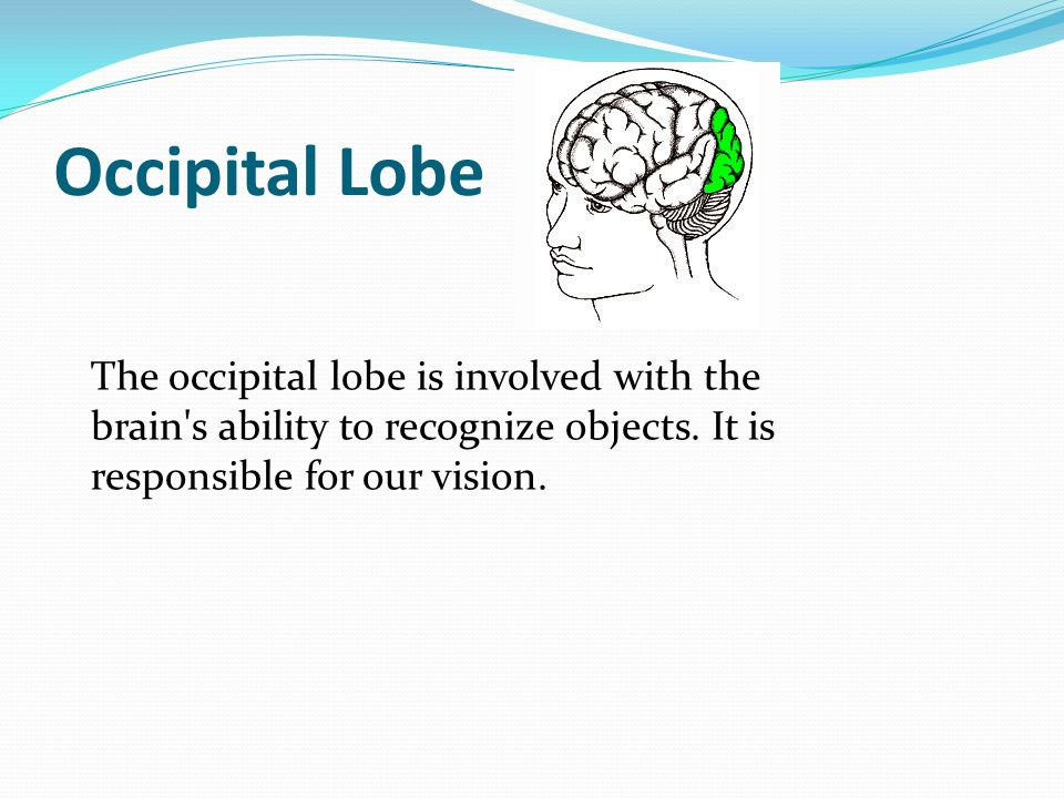 Occipital Lobe The occipital lobe is involved with the brain's ability to recognize objects. It is responsible for our vision.