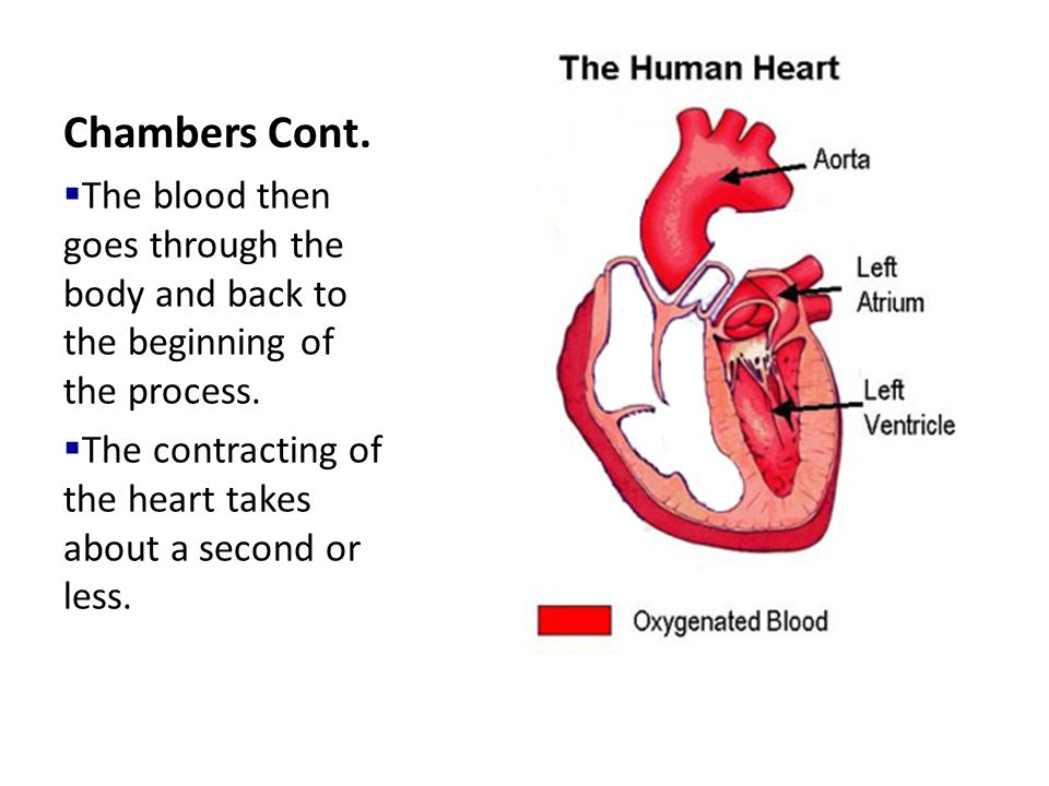 Chambers Cont.  The blood then goes through the body and back to the beginning of the process.  The contracting of the heart takes about a second or