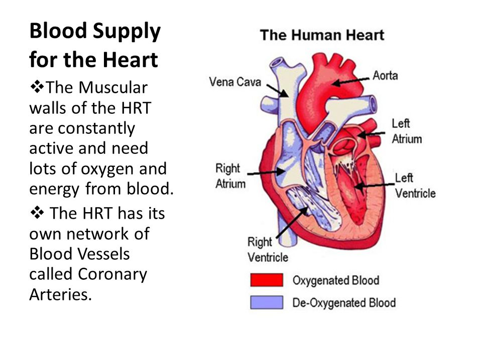 Blood Supply for the Heart  The Muscular walls of the HRT are constantly active and need lots of oxygen and energy from blood.  The HRT has its own