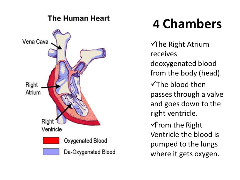 4 Chambers The Right Atrium receives deoxygenated blood from the body (head). The blood then passes through a valve and goes down to the right ventric
