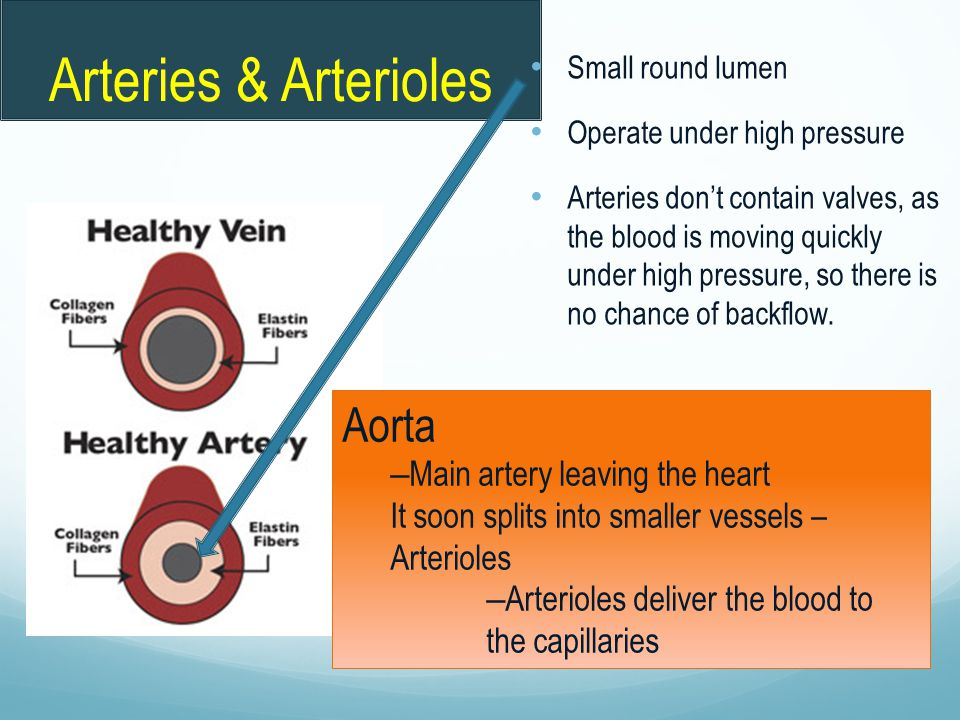 Arteries & Arterioles Small round lumen Operate under high pressure Arteries don't contain valves, as the blood is moving quickly under high pressure,